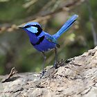 Splendid Fairy Wren by Travis Szylak