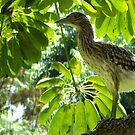 Nankeen Night Heron by Eve Parry