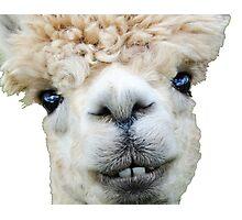 Alpaca llama Photographic Print