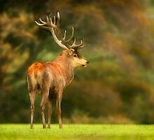 Red Deer Stag by ardudley