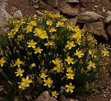 Hypericum olympicum, Mt Falakro northern Greece by Greek Mountain Flora