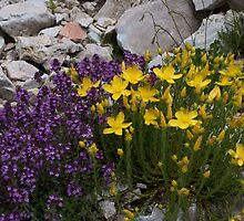 Hypericum and Thymus, Mt Falakro northern Greece by Greek Mountain Flora