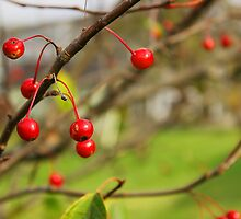 Berries on Tree by tdash