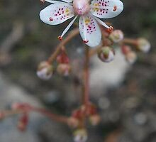 Saxifrage (AKA London's Pride & Nancy Pretty) by MagsWilliamson