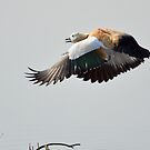 Brahminy Shelduck in flight by Fotosas  Photography