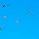 Animal, Bird, Oystercatchers in flight, Blue sky  by Hugh McKean