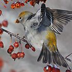 Out Stretched / Pine Grosbeak  by Gary Fairhead