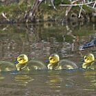 Four Rubber Goslings by Thomas Murphy