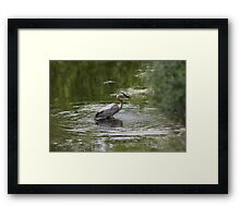 Great Blue Heron with Creek Chub Framed Print