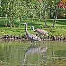 Sandhill Cranes Wading by Thomas Murphy