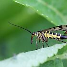 Common scorpionfly by cuprum