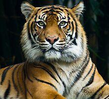 Sumatran Tiger lying down looking at lens by Steve Munro