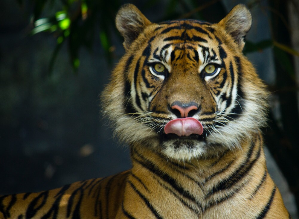 Tiger Licking Lips Looking at lens by Steve Munro