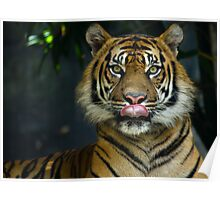 Tiger Licking Lips Looking at lens Poster