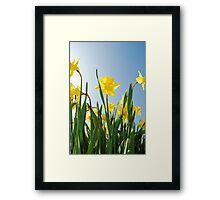 Towering daffodils  Framed Print