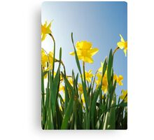 Towering daffodils  Canvas Print