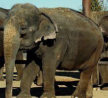 Big Tom Elephant by pcfyi