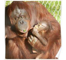 Orangutan, smartest ape Poster