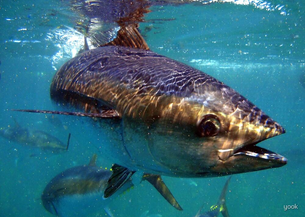Bluefin by yook