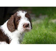 Brown Roan Italian Spinone Puppy Dog Head Shot Photographic Print