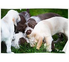 Orange & White & Brown Roan Italian Spinone Puppy Dogs Poster