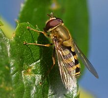 Hover Fly - Syrphidae family by Chris Monks