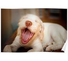 Orange & white Italian Spinone Puppy Dog Head Shot Poster