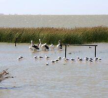 Pelicans and Gulls - Lake Albert, The Coorong, SA by Ruth Durose