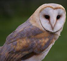 barn owl by Penny Rumbelow