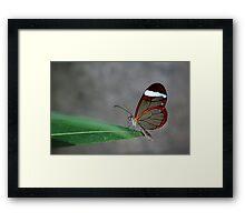 Glasswinged Butterfly Framed Print