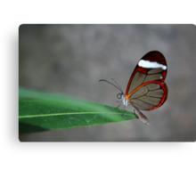 Glasswinged Butterfly Canvas Print