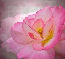 Pink Victorian Rose by MotherNature