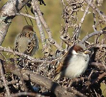 House Sparrow - Front and Back by Deb Fedeler