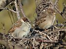 House Sparrow - Male and Female by Deb Fedeler
