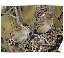 House Sparrow - Male and Female Poster