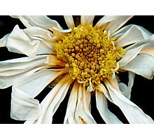 Flower - Daisy - Drunken sun Photographic Print