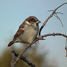 House Sparrow (Male) on a Twig by Deb Fedeler