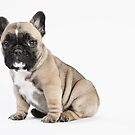 Pedigree French Bulldog Puppy by Andrew Bret Wallis