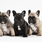 3 French Bulldog Puppy Pals  by Andrew Bret Wallis