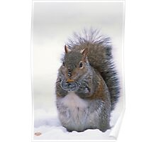 Grey Squirrel in Winter Poster