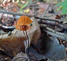Marasmius Mushrooms - Species Undetermined by MotherNature