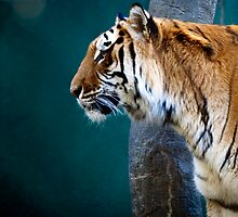 Bengal Tiger by Crystal Philbrook