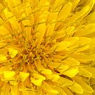Flower - Dandelion by Mike  Savad