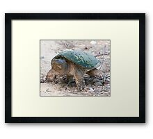 A Momentary Glace - Snapping Turtle Framed Print