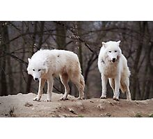 Two Arctic Wolves Photographic Print