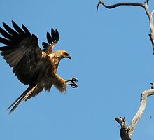 Whistling Kite Landing by trekarts