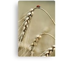 Ladybird on the top of Grain Canvas Print
