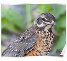 The Profile of A Juvenile Robin Poster