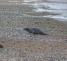 Beach Bum..The Seal At Rest by Jamie  Green