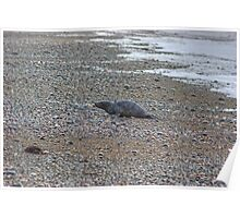 Beach Bum..The Seal At Rest Poster